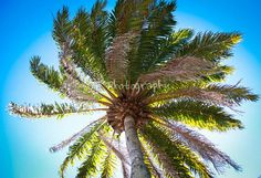 A perfect 80 degree day in Florida. This photo represents everything I love about Florida - palms trees! #florida #palms #love