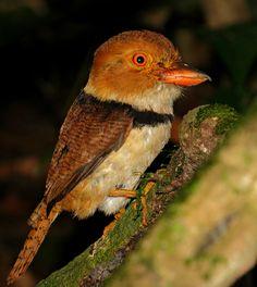 Foto rapazinho-de-colar (Bucco capensis) por Victor Castro
