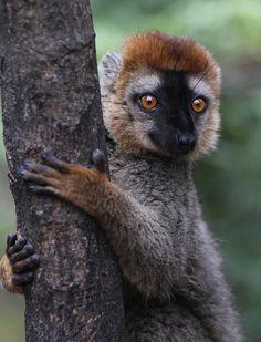 Lemur close-up