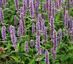 Agastache Blue Fortune - White Flower Farm