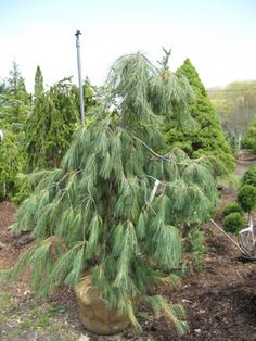 Pinus strobus Angels Falls:  A form of weeping White Pine that is slower and more dense then Pinus Strobus Pendula. Develops into a dense upright mound.
