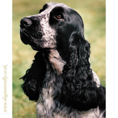 Blue Roan Cocker Spaniel For Stud Only Pictures to pin on Pinterest
