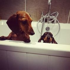 Looking for an original Doxie ? Shop it via link in my bio @doxiecentral.tv From @doxiecentral Get your dog FEATURED ON OUR PAGE by submitting your pics via the link in our bio @doxiecentral! ___________________________
