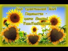 Наш удивительный Мир! Подсолнухи -  цветы Солнца! VsemVseOboVsem