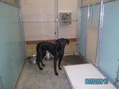 Carter is an adoptable Labrador Retriever Dog in Charles City, VA. Carter is a female Laborador. She is sweet although a little fearful but seems to be coming around. She is approx 2 years old and 4...