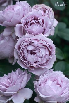 English Roses Изображение - View album on Yandex. Blue And Purple Flowers, Pink Roses, Beautiful Roses, Beautiful Flowers, David Austin Rosen, Lavender Cottage, Flora Flowers, Love Rose, My Secret Garden