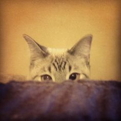 Sid Vicious VonFluffenPuff sees you when you're sleeping.... #kitten #kitty #cat #siamese