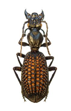 Cypholoba alveolata Most insects are beautiful but I still don't like them