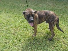 03/14/17-ROSENBERG, TX -EXTREMELY URGENT - This DOG - ID#A009072    I am a male, brown brindle Black Mouth Cur.    The shelter staff think I am about 3 years old.    I am currently staying with a Foster Family, please call the shelter if you would like to see me.    I have been in shelter care since Nov 07, 2016.    This information was refreshed 8 minutes ago and may not represent all of the animals at the Fort Bend County Animal Services Shelter.