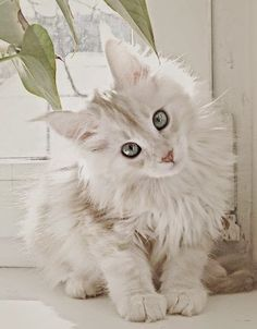 Top 5 Cute Breed of Cats/ A white/cream Maine Coon