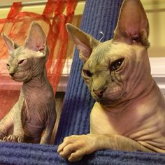 Sphynx cat and kitten, hairless cats