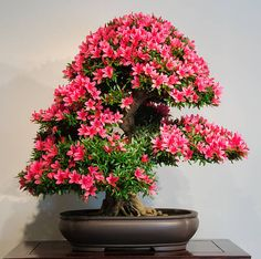 Flowering bonsai tree​​​ foto
