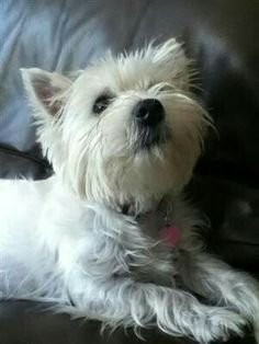 Todays Cuteness :) Submitted by pockichan:Daisy Dog . we miss Scruffy ! Westie Puppies, Westies, Dogs And Puppies, Doggies, Daisy Dog, West Highland Terrier, White Terrier, White Dogs, Family Dogs