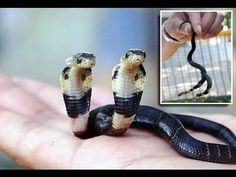 Mutant Cobra has TWO heads: Snake is growing after 10 days despite not e...