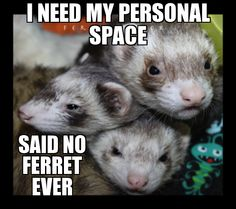 #ferret #animal #awesome #cute #cool #wardance #funny #smile #paws #furry