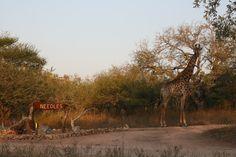 Giraffe at our entrance