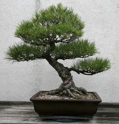 Japanese Black Pine (Pinus thunbergii) | Flickr - Photo Sharing!