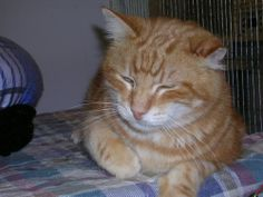 Meet John a Petfinder adoptable Tabby - Orange Cat | Wichita, KS | John is a shy, but sweet guy.  His coat is a beautiful swirled ginger color & is very silky.  He...