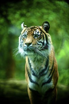 Tiger, Adelaide Zoo. | Flickr - Photo Sharing!