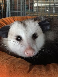 Second Chances Wildlife Ctr.. Here is one awesome opossum. Sometimes we forget…
