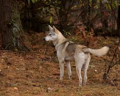 Tamaskan. Tamaskans look like wolves but are fully domesticated. They need a lot of exercise and cannot be left alone for long hours due to separation anxiety. However, they are very affectionate and get along great with other pets.
