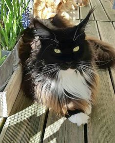 HOLLYCOON W'Susan Mayer www.hollycoon.com #hollycoon #catsoftheworld #catscrew #catslover #mainecoon #mainecoonlovers Pretty Cats, Beautiful Cats, Gatos Cool, Cute Creatures, Beautiful Creatures, Pet Fox, Maine Coon Cats, Cat Paws, Domestic Cat