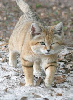 I'VE  GOT  MY EYE  ON  YOU BUSTER SO WATCH IT! ( this is a canyon sand cat, not a domestic)