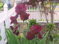 Full size picture of Tall Bearded Iris 'Dynamite' (Iris)