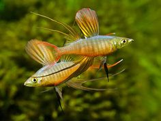 Threadfin Rainbowfish.  Two males displaying for each other.