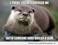funny otters | confused me someone builds dam pun joke otter beaver animal funny pics ...