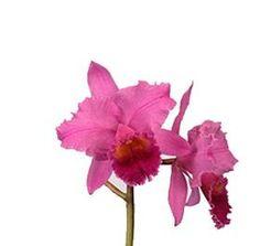 Cattleya Orchid Hot Pink $0.01