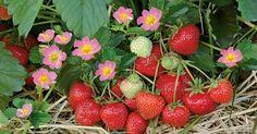 Aus eigenem Anbau schmecken Erdbeeren am besten! Schon Ende April reifen die ersten süßen Früchte, und mit mehrmals tragenden Sorten dauert die Ernte bis Oktober. Hier finden Sie einen Pflege-Kalender für alle wichtigen Arbeiten: vom Düngen bis zum Schneiden.