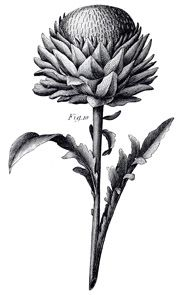 I absolutely love vintage botany illustrations. They are so exquisitely detailed! This is the cynara scolymus plant, or artichoke from the mid 1800's.