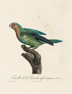 Levaillant, François. Histoire naturelle des perroquets. Farbstich von Louis Bouquet nach Jacques Barraband. (Paris, Langlois, ca. 1801-05).