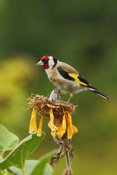 Goldfinch, Canario, Natural World, Men's Fashion, Birds, Nature, Animals, Beautiful, Beauty