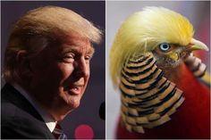 Goudfazant met 'Trump-kuif' in de schijnwerpers