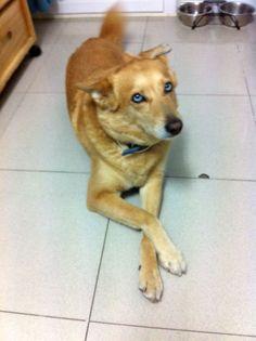 LAIKA - 93 412 00 73 - Barcelona - Hembra de unos 8 años, tamaño mediano, muy sociable con otros perros.
