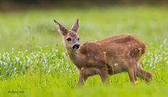 Photograph Roe Deer (juvenile) by Gert J ter Horst on 500px