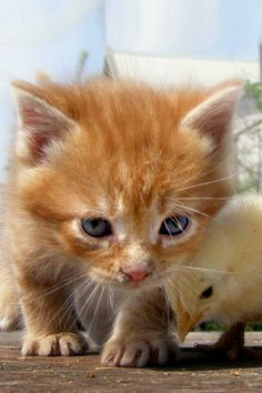 Looking for a clue... An inquisitive kitten teams up with a chick to play detective.