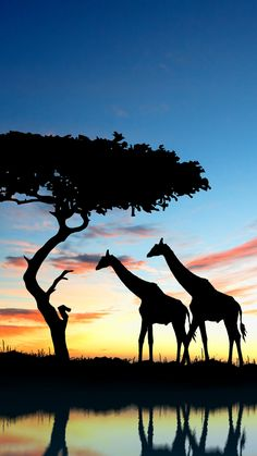 Safari, Giraffe, Wildlife, Tree Wallpaper for Android [Full HD], Nature Background and Image Iphone Wallpaper Landscape, Nature Iphone Wallpaper, Animal Wallpaper, Wallpaper Desktop, Giraffe Silhouette, Silhouette Painting, Giraffe Pictures, Tier Wallpaper, Afrique Art