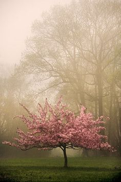 Flowering pink crabapple in fog.