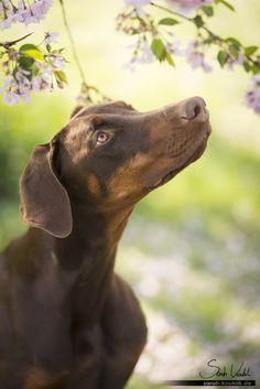 Dobermann Hündin Bounty vor Kirschblüten | Hundefotografie München