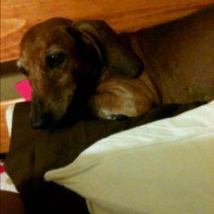 My Dachshund :)  Taking my pillow..