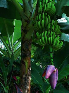 1000 Images About Banana Trees In Landscapes On