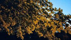 Maple Lit by Streetlight