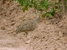 Brushland Tinamou Nothoprocta cinerascens - Google Search