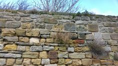 Walls don't stop things trying to grow, even in winter  At Whitby Abbey