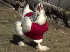 Retirees knit tiny sweaters for cold fashion-forward chickens     - CNET  As Tuesdays winter storm took aim at New England animal-welfare organizations urged residents not to forget about their pets and farm animals who have little defense against the bitter weather.  But in Milton Massachusetts a group of retirees already are making sure a flock of local chickens are bundled up against the winter weather.  Members of a knitting club at the Fuller Village retirement community have outfitted…