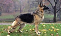 Ever wonder what dogs would make awesome Guard Dogs? Here is a list 5 awesome ones to check out. #dogs #guarddogs #security #germanshepherd