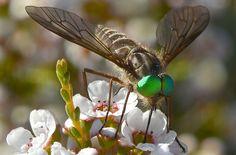 Green eyed fly | Flickr – Compartilhamento de fotos!